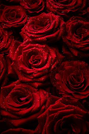 rosas negras: hermosas rosas rojas con gotas de agua