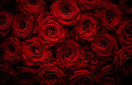Mooie rode rozen met druppels water Stockfoto