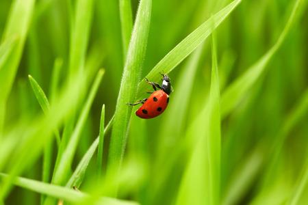 ladybug on leaf: Beautiful ladybug on green grass. Nature background