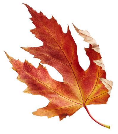 the dry leaves: Hoja de arce del oto�o aislada en el fondo blanco