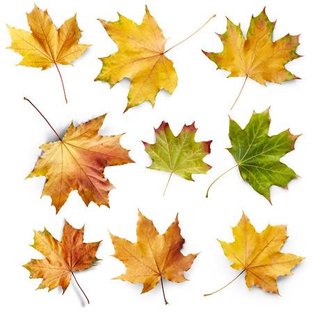 Conjunto de arce de hojas aisladas sobre fondo blanco Foto de archivo