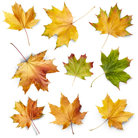dry leaf: Set of autumn maple leaves isolated on white background