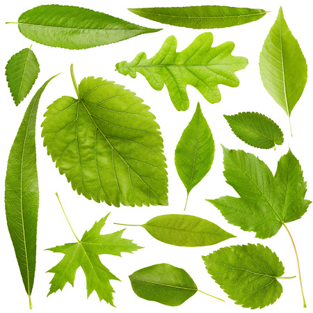 Set of Green leaves isolated on white background. Nature background