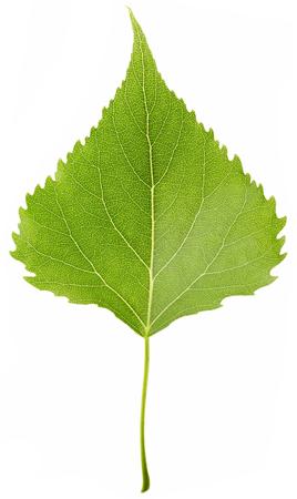 Foglio verde isolato su sfondo bianco. Sfondo della natura. Archivio Fotografico