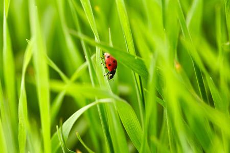 plant nature: Beautiful ladybug on green grass. Nature background