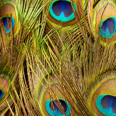 close up: Peacock feathers close up