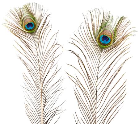 peacock feathers: plumas de pavo real aislados sobre fondo blanco Foto de archivo