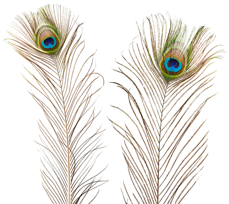 pluma de pavo real: plumas de pavo real aislados sobre fondo blanco Foto de archivo