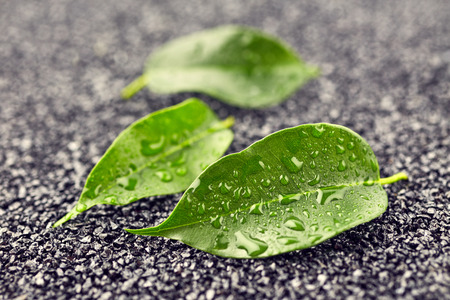 rocks water: Green leaves with drops of water on black stones Stock Photo