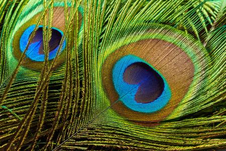 pluma de pavo real: plumas del pavo real se cierran para arriba