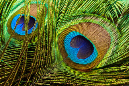 Peacock feathers close up