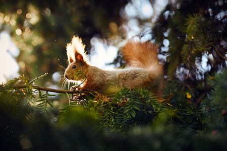 sit: Squirrel sit on pine branch Stock Photo