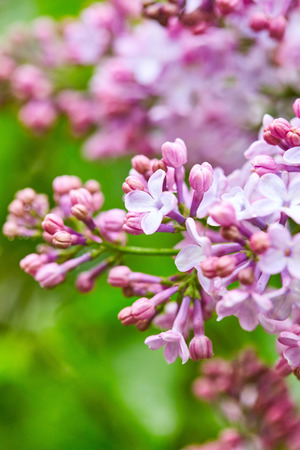 flowers close up: Beautiful lilac flowers close up. Nature background