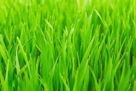 blades: Blades of green grass. Nature background