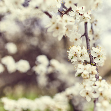flowers close up: Spring blooming tree. Beautiful flowers close up. Nature background Stock Photo