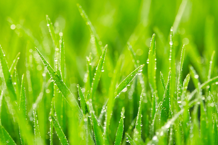 grassland: Green grass with drops of water. Nature background
