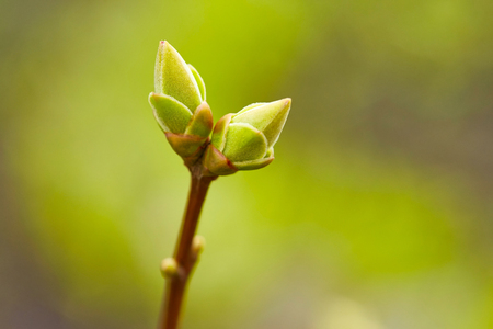 First green spring buds. Nature background
