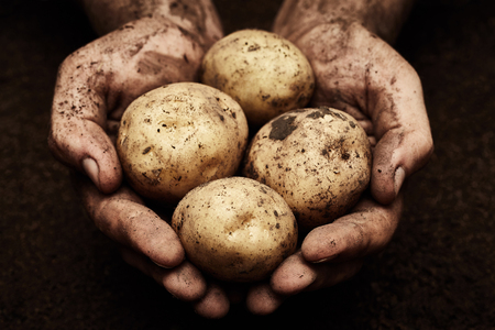 Potatoes in male hands on soil background Stock Photo