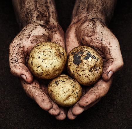 turba: Patatas en manos masculinas sobre fondo del suelo. Agricultura Foto de archivo