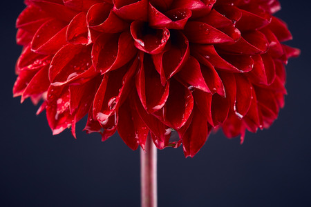 Red dahlia with drops of water close up Фото со стока