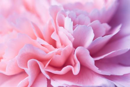 Beautiful pink carnation flower close up