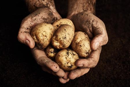 Potaoes dans les mains des hommes. Agriculture fond Banque d'images - 61786978
