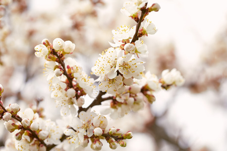 Spring blossoming cherry tree close up