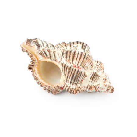 Seashell isolated on white background Фото со стока