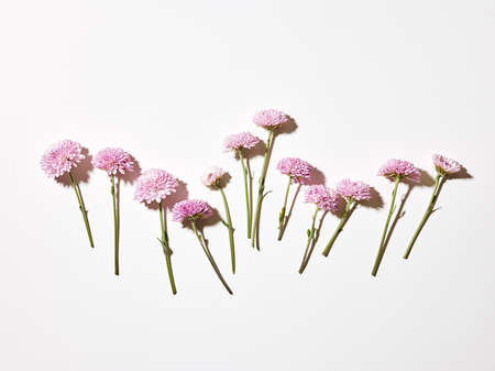 Cut pink chrysanthemum flowers over white background