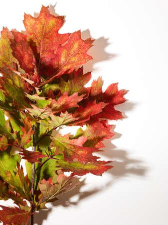Autumn oak leaves over white background Standard-Bild