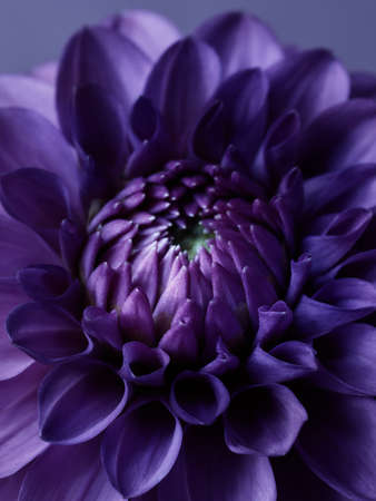 Macro shot of fantasy dahlia flower. Floral background Standard-Bild