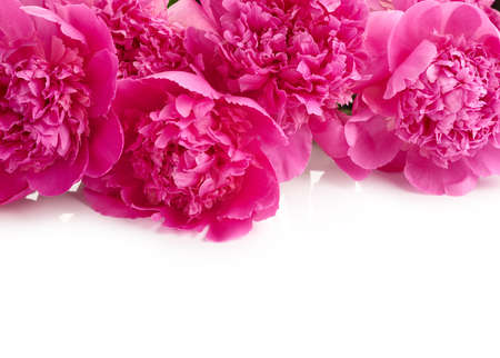 Beautiful pink peony flowers isolated on white background with place for text