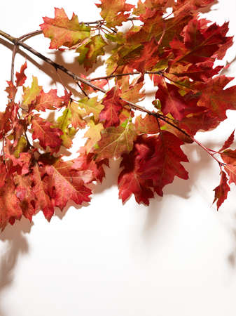 Autumn oak leaves on branch over white background