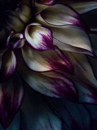 Macro photography of dahlia flower petals Standard-Bild
