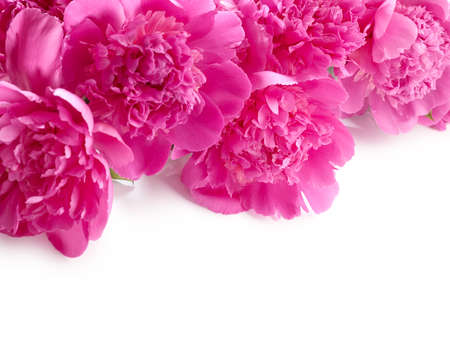 Beautiful pink peony flowers close up over white background