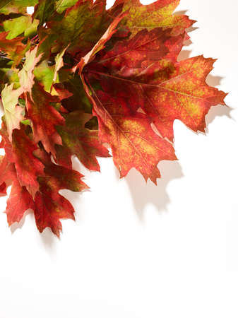 Red oak leaves over white background with place for text