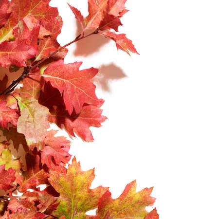 Branch with autumn oak leaves over white background with place for text