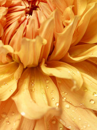 Yellow dahlia with drops of water on her petals close up