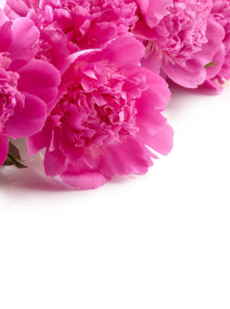 Pink peony flowers isolated on white background with place for text