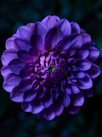 Purple dahlia flower macro shot in the garden Standard-Bild