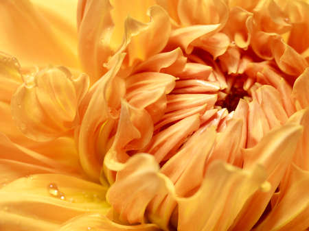 Yellow dahlia with drops of water close up