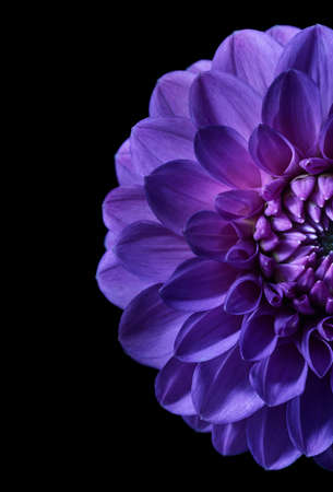 Night shot of purple dahlia with place for text