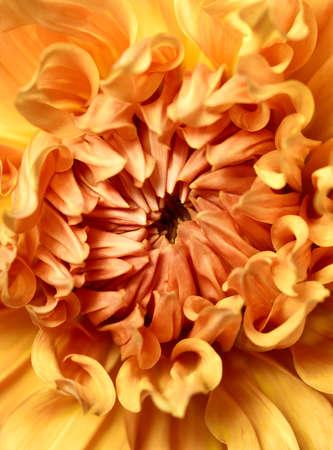 Beautiful yellow dahlia close up Standard-Bild