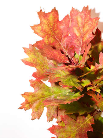 Branch with autumn oak leaves over white background Standard-Bild