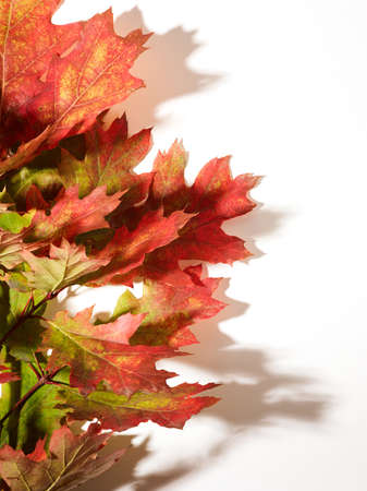 Autumn oak leaves over white background with place for text