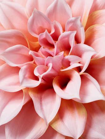 Beautiful pink dahlia macro photography