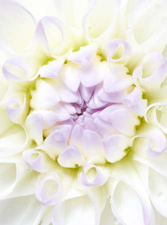 Macro shot of white dahlia flower