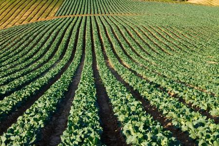 Cabbage crop being grown in fertile California growing fields.