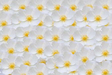 roze: White rose hips  in the garden