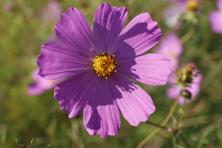 asteraceae: pink purple flower, like a daisy in the light of the setting sun.
